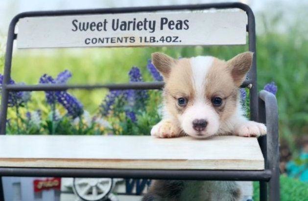 Pembroke Welsh Corgi Puppy For Sale In New York Ny Usa Adn