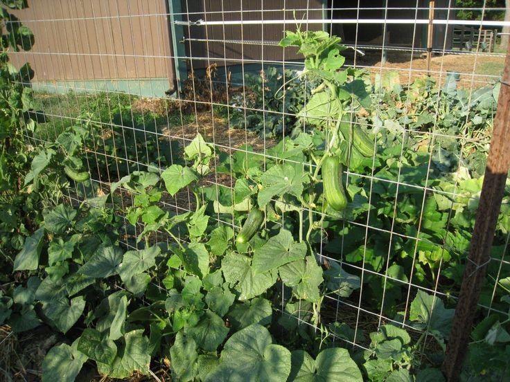 Verticalizando o jardim / horta. Treliça para apoiar os pepinos.   Fotografia:  backyardfarming.blogspot.com.br