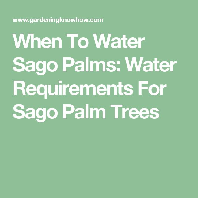 When To Water Sago Palms: Water Requirements For Sago Palm Trees