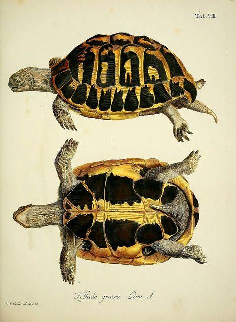 Tortugas. Schopf, Johann David / ilustración científica, tortugas, zoología