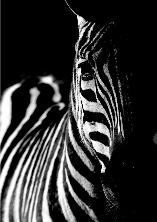 Zebra, schwarz und weiß Tierfoto von Theokruse   Zoom.nl