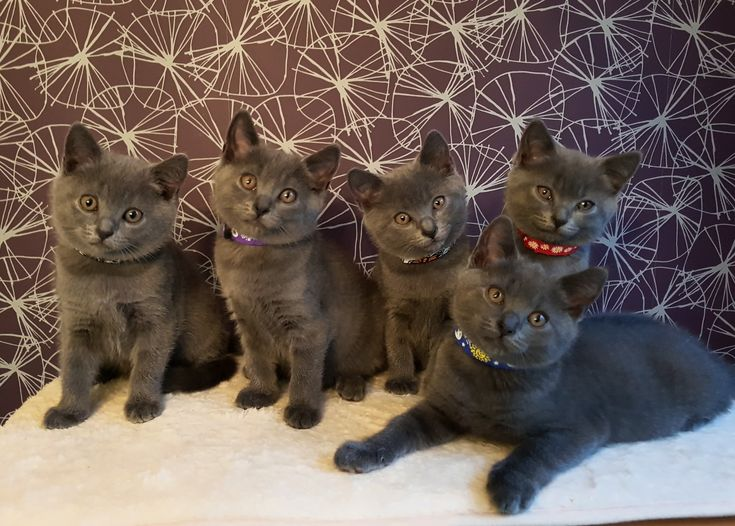 Chartreux kittens - masterplan-cats.co.uk
