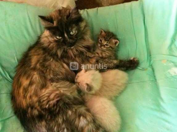 Tutifruti. cruce angora con gato común.Gatos angora españa
