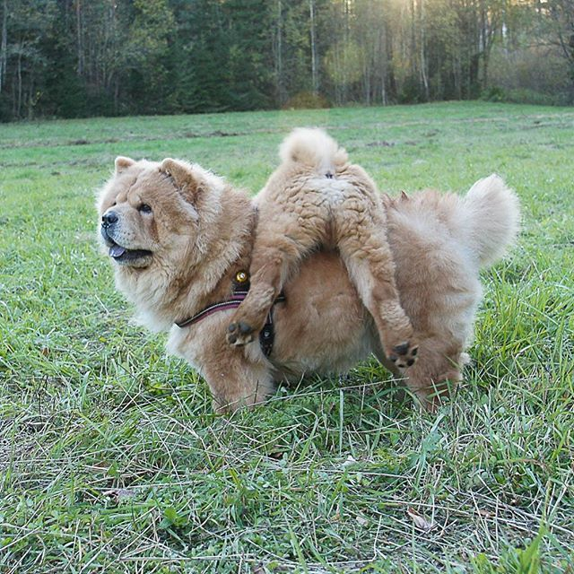 Fawn chow chow and chow chow puppy
