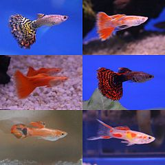 17 best images about fancy freshwater fish on pinterest for Non aggressive fish