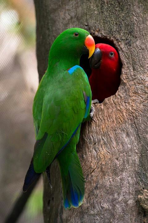 Eclectus Parrots - I would absolutely love to have a pair!