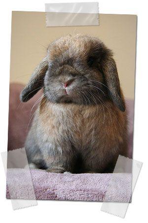 Conejo enano de orejas caídas