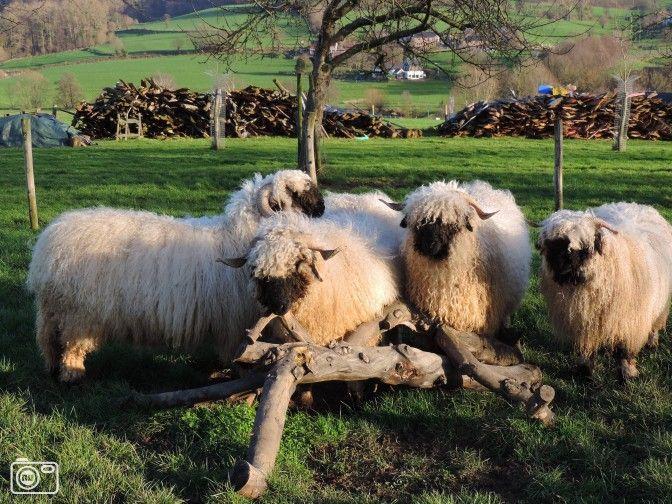 Wallisser Schwarznase schapen in zonnig Epen
