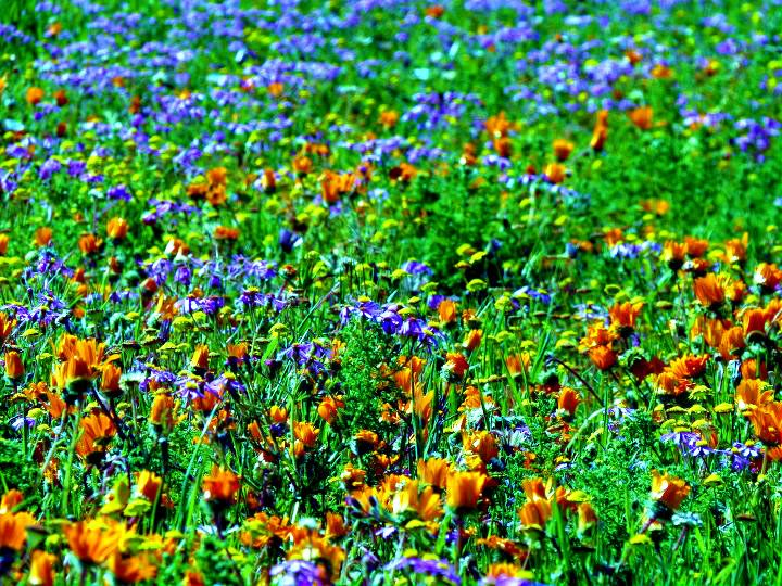 Wild Flowers - West Coast National Park