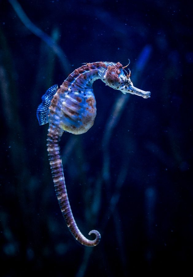 lifeunderthewaves:  Seahorse by chrismolbech