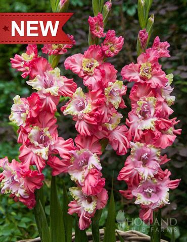Broken Heart Frizzle Gladiolus is a ruffled delight. Sweetheart pink and chartreuse centers are surrounded by true pink ruffled petals. Broken Heart Frizzle Gladiolus are very nice in cut flower arrangements, mixed with lilies, dahlias and Shasta daisies.