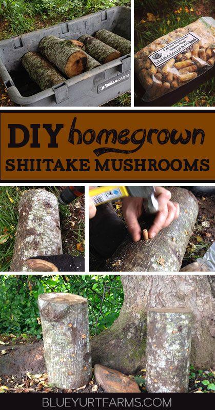 DIY Homegrown Shiitake Mushroom Logs | Blue Yurt Farms #easy #homesteading