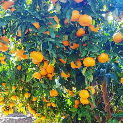 Gold Nugget Mandarin Tree Low Cost Garden In 2020 Mandarin Tree Fast Growing Trees Growing Tree