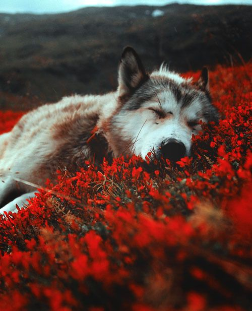 Amazing Wolf: 732 Best Images About Animal Planet On Pinterest
