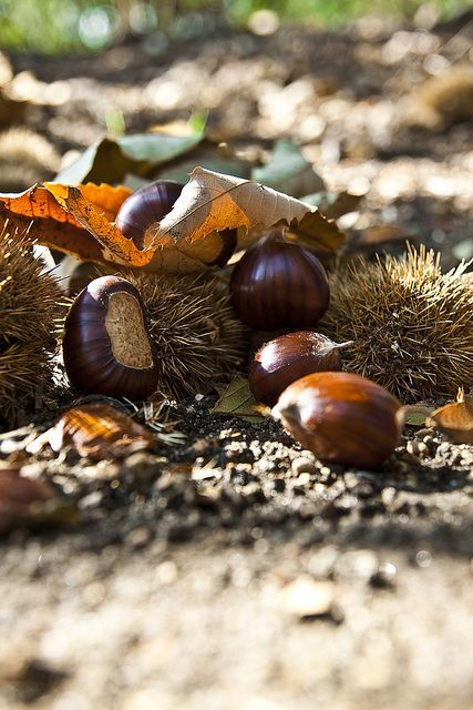 """My Grandfather told me once, """"Find a Chestnut, pick it up, all day long, you'll have a Chestnut.""""  ~~  Houston Foodlovers Book Club"""
