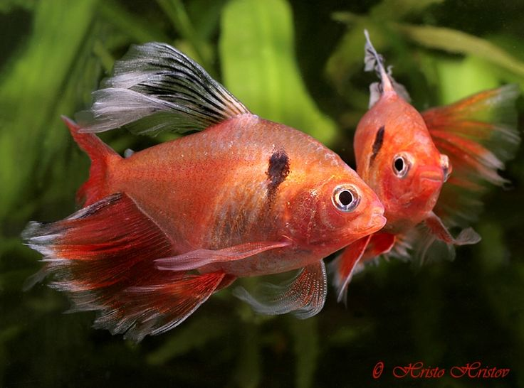 1000 ideas about tetra fish on pinterest freshwater for Tetra fish tank
