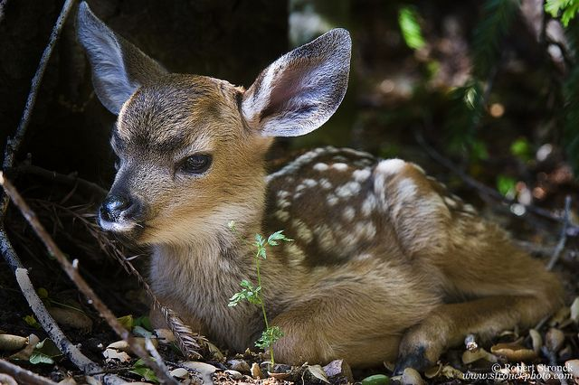 Mule Deer Fawn. Looks like he's pouting!