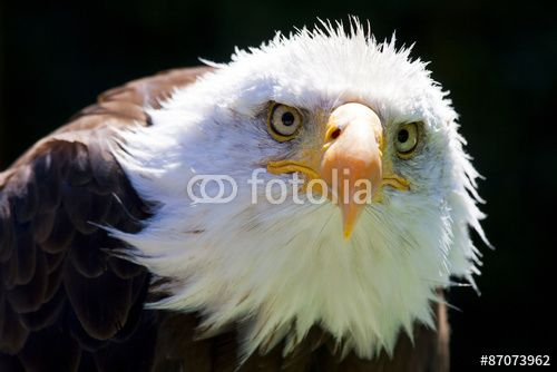 North American #Bald #Eagle