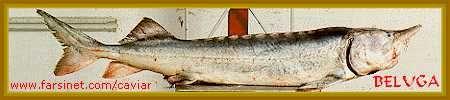 Beluga Caviar Fish, Caspian Sea, North Iran