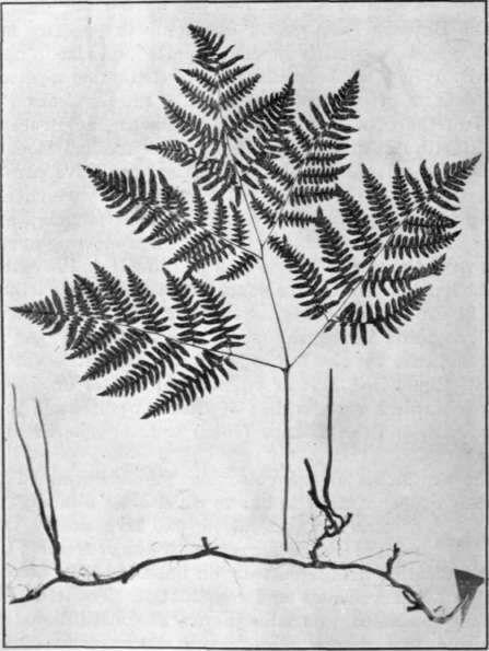 http://chestofbooks.com/flora-plants/weeds/Poisonous-Plants/images/Fig-4-Bracken-Fern.jpg