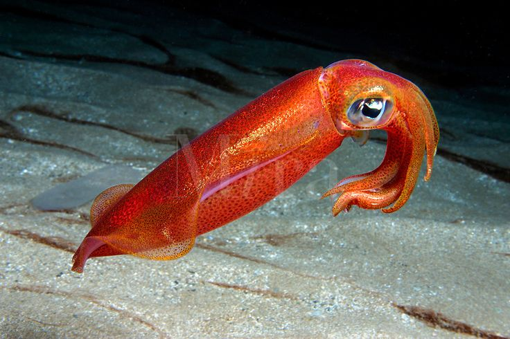 Hawaii Ocean Underwater | OVAL SQUID Sepioteuthis ... Pacific Ocean Underwater Animals