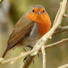 Beautiful Robin Red Breast