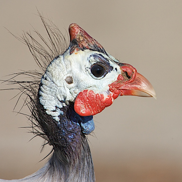 Had many guinea fowl when I was a kid.  Unique looking, loud, and so much fun