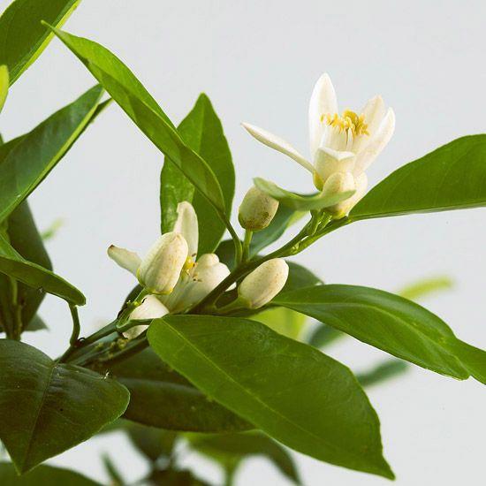 Plantas de interior para perfumar tu hogar