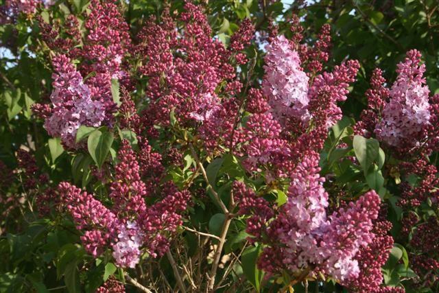 Lilos, syringa vulgaris