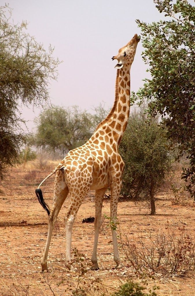 25 Best African Giraffe Ideas On Pinterest Africa
