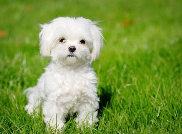 Maltese:  Maltese Terriers, Malt Terriers, Maltese Puppies, Maltese Dogs, Malt Dogs, Dogs Breeds, Puppy, Malt Puppies, Animal