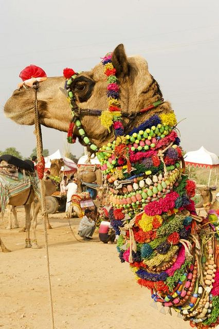 Rajasthan's most famous festival is less and less about the eponymous camels and more about a rollickin' good time, though the dunes outside of Pushkar are still a sight (and a smell) to behold when the cameleers come to town...  Read more: http://www.lonelyplanet.com/india/travel-tips-and-articles/77483#ixzz3IyB9NNTs