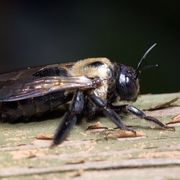 How to Kill Wood Boring Bees | eHow