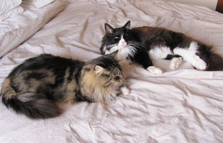 2 Maine Coons on the bed