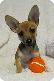 McKinney, TX - Chihuahua/Corgi Mix. Meet Pippy Pipsqueak, a puppy for adoption. http://www.adoptapet.com/pet/12340147-mckinney-texas-chihuahua-mix