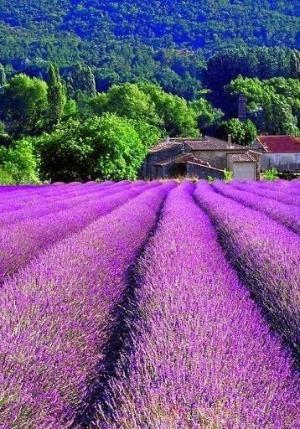 Lavender fields by Caroline C. ❦