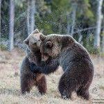 Wildlife Travel: Brown Bear Watching in Finland