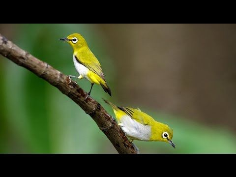 Kicau Pleci - Kicau Burung Pleci Master Juara Suara Gacor Joss Kicauannya