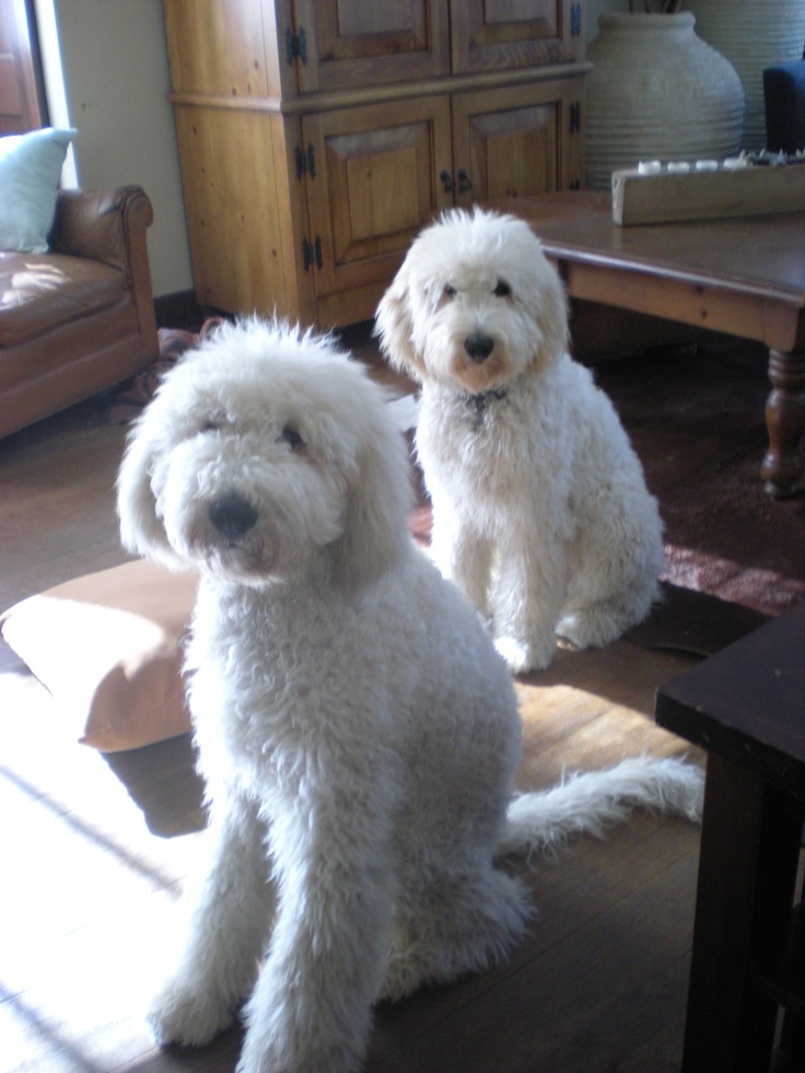 Mac And Zoey Doodle Dog Cute Dogs Dog Love