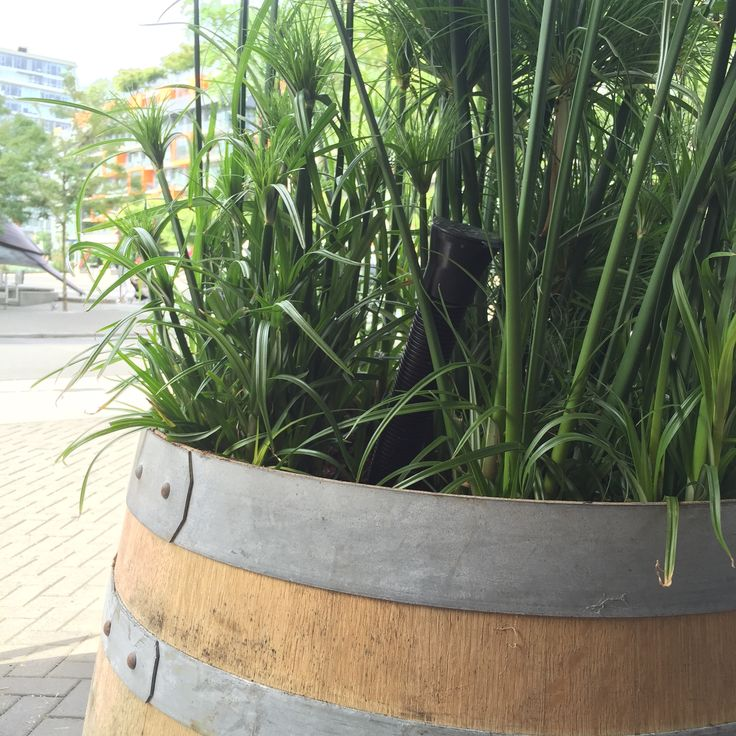 Ollie Plant Sipper in an aged wine barrel planter
