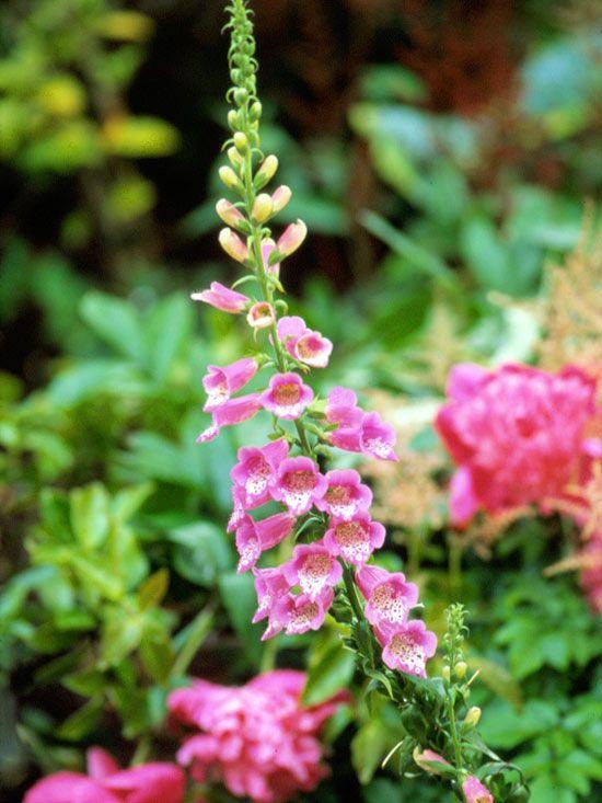 Tulipa Acuminata tulpen und keine narzissen | ... für den Wald und den Garten, sie verlangen fast keine Gartenpflege