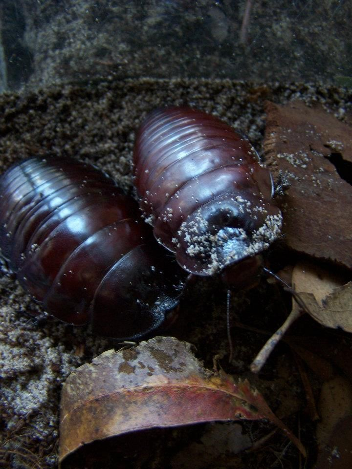 Giant Burrowing Cockroach Macropanesthia rhinoceros