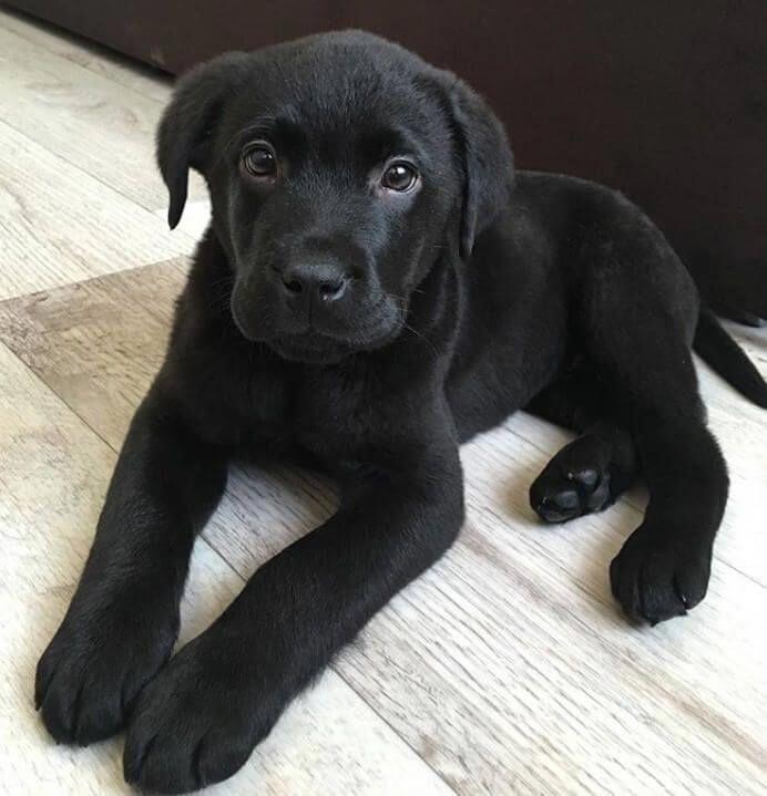 Discover The Chocolate Labrador Dog Health #labrad…