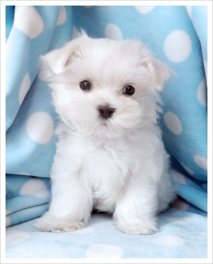 What Brianna wants for her birthday! Maltipoo puppy.  So cute!