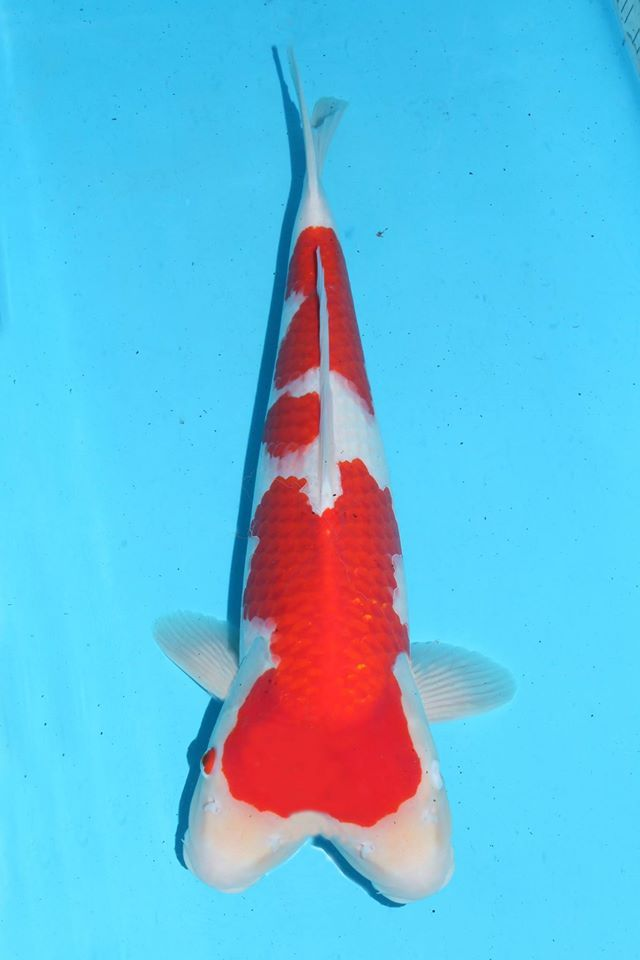 32 best kohaku koi images on pinterest kohaku koi carp for Japanese koi fish names
