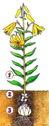 Как размножить лилию