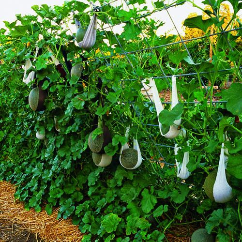 Vertical gardening supporting fruit with nylon strips Wow! I just realized I need to grow my melons BEHIND everything else. I had no idea they would become a living wall.