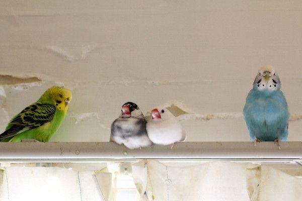 文鳥のゴマとシオ、わが家を気に入ってくれたようでよかった。