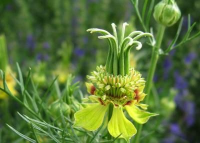 *Czarnuszka orientalna - Nigella orientalis*-20 30 cm