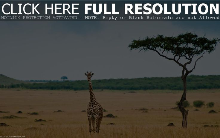Download free giraffe wallpapers for your mobile phone  most 1600×900 Giraffe Images Wallpapers (41 Wallpapers) | Adorable Wallpapers